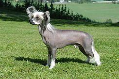 El Crestado Chino es una raza de perro sin pelo de compañía de pequeño tamaño (entre 5 y 7 kg).    Como la mayor parte de las razas de perro sin pelo, el crestado chino tiene dos variedades, con o sin pelo, conocidas en inglés como hairless (sin pelo) y powderpuff (con pelo)