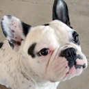 Jeep the French Bulldog still up for Adoption