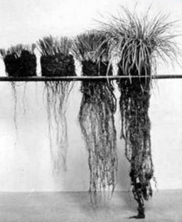 The plant on the left shows what happens in a 'set-stocking' system, where the animals keep returning to the youngest, newest growth, slowly killing the plant. The right hand side grass plant shows what we are trying to achieve with mob-grazing - a full, long, deep, root structure that will reach down into the water table in dry conditions