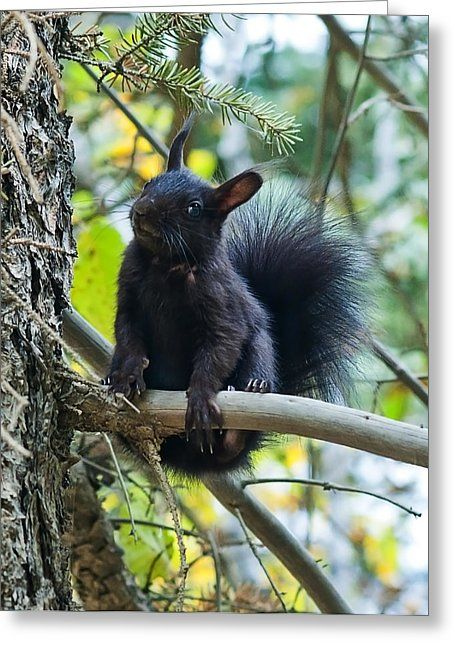 The Black Abert's Squirrel Greeting Card by Beth Riser