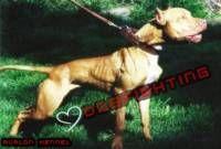 Exercise pembuatan muscle (otot) pada American Pittbull Terrier.