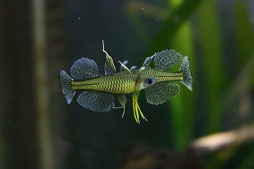 Spotted blue eye rainbowfish pseudomugil gertrudae by for Freshwater rainbow fish