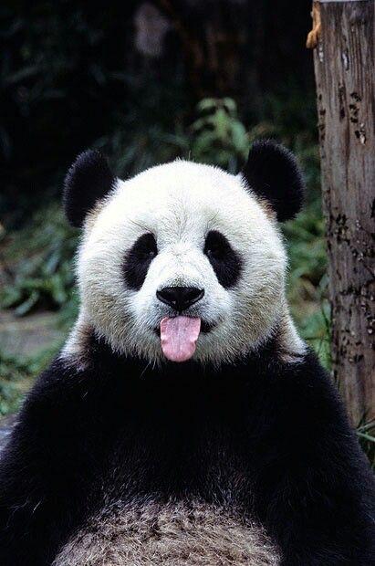 Panda - Page 2 6079d0d96badf45fce04a33400efcc20