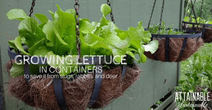 Growing lettuce in containers -- specifically hanging containers -- is a great way to keep pests at bay. Here's how to go about planting lettuce in containers for pest control.