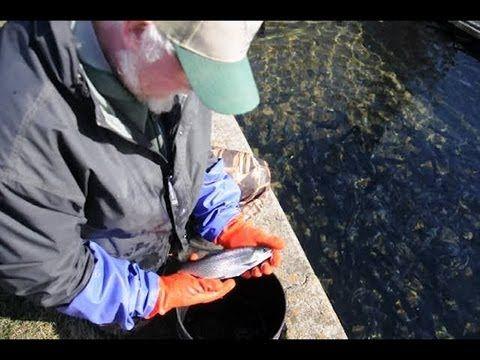21 best 1st grade stem fair images on pinterest pisces for Iowa fish hatcheries