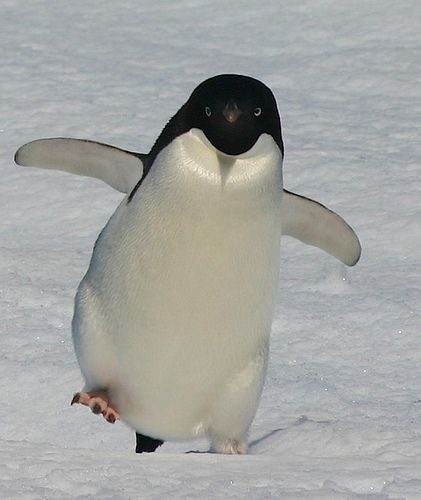 Adelie Penguin Dancing? on Flickr - Photo Sharing!                              …