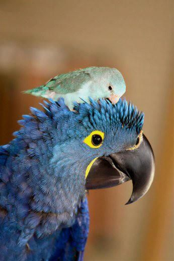 A Blue Pacific Parrotlet preening a Hyacinth Macaw.  Love.