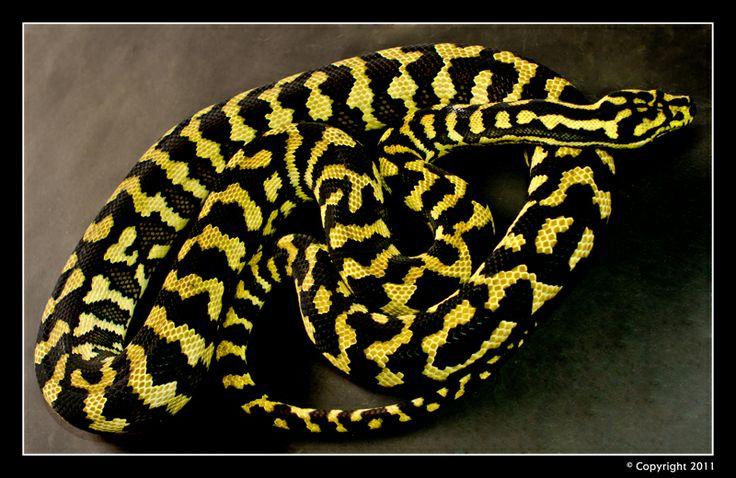 High Yellow Jungle Carpet Python  Carpet Vidalondon