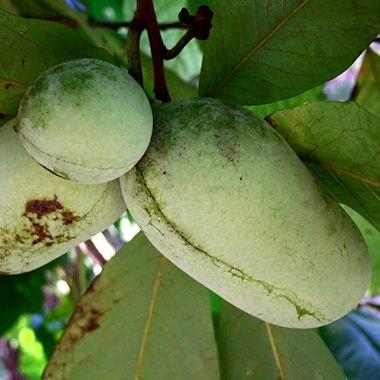 Native North American Fruit Trees: Organic Gardening