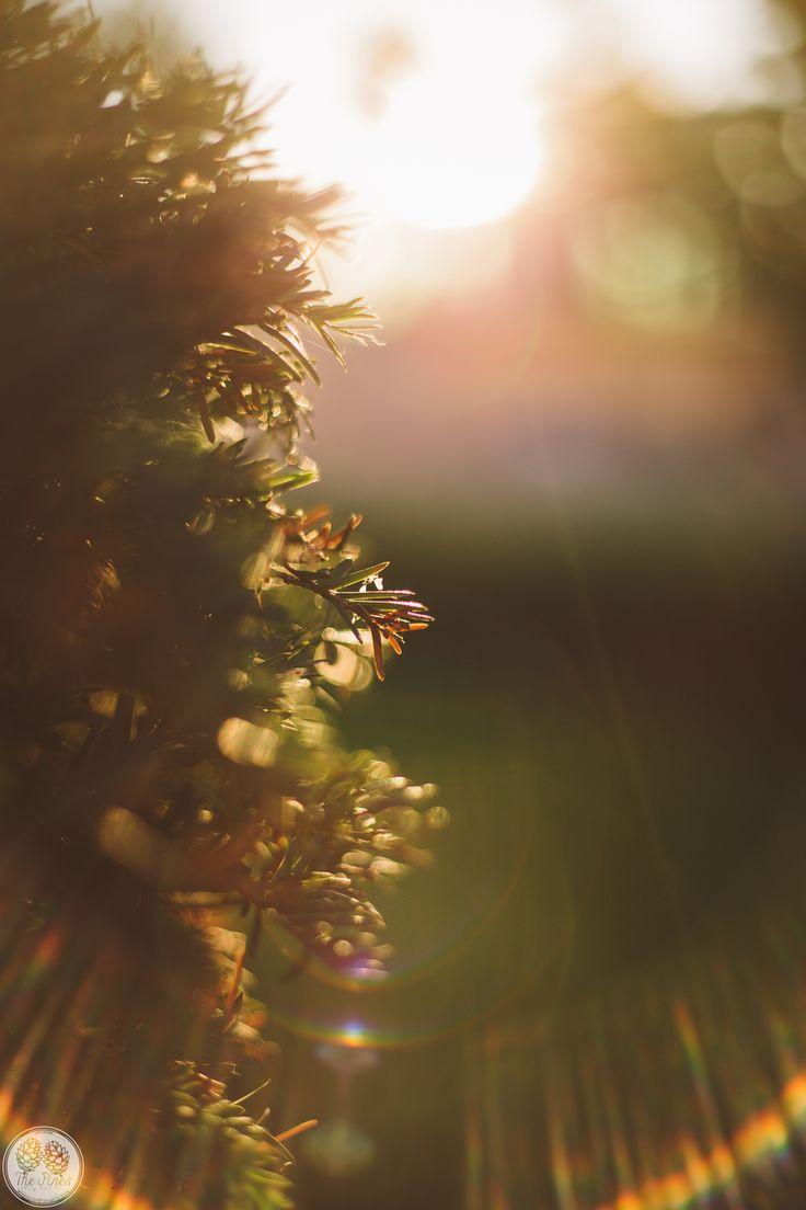 sun; pine; the pines; summer; sunset; storytellers