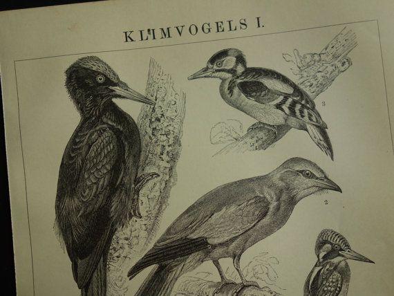 old pictures of birds 1909 original antique by DecorativePrints