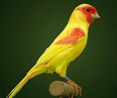 Yallo Mosaic canary
