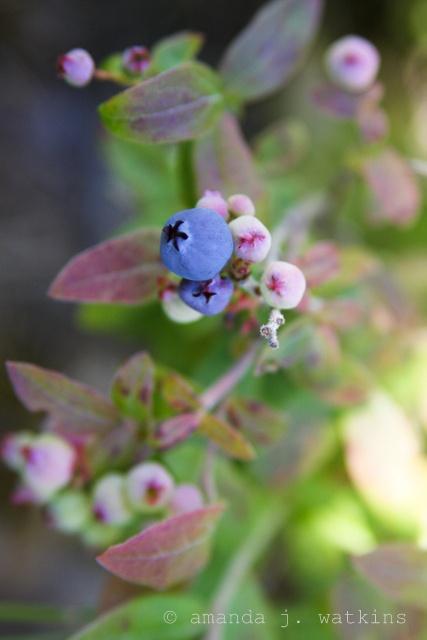 Wild blueberry picking - Northern Ontario.