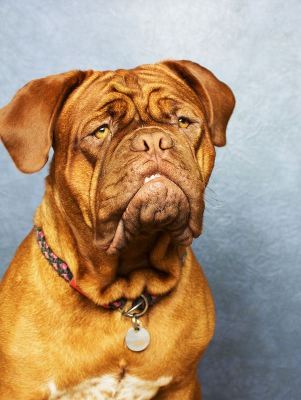 Hi There Check Out This Personality Mastiff Puppies Giant Dogs Mastiffs