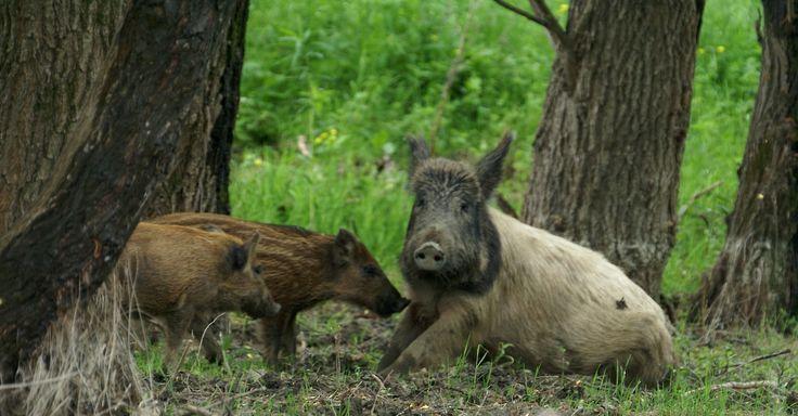 wild boars, Danube Delta