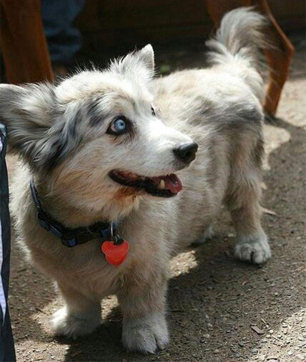 15 Adorable Dog Breed Mash-Ups>>>>>Oh My Gosh!!! Corgi and Husky Mix!!!