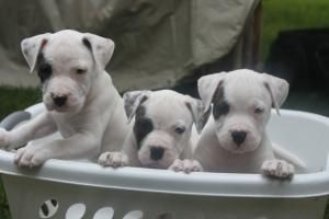 puppies for sale in pa, puppies for sale pa, pa puppies, cute puppies for sale, pennsylvania puppies, puppy