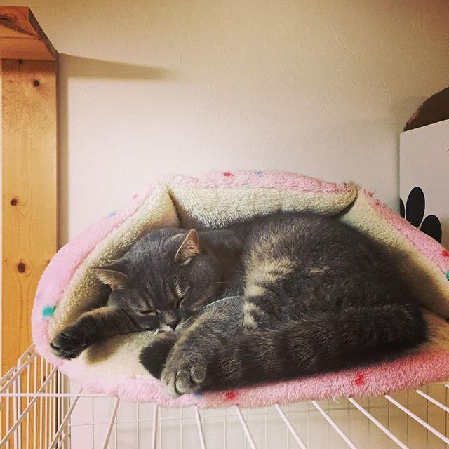 ちょっと疲れがたまってきた〜 5月2日。本日のORIONReサイクルは3ヶ月ぶりにお休みさせてもらいます😆👍 今月は釣りにも行きたいので。もう1回休むつもりっす😁写真はいつも気持ち良さそうに寝てるウチの猫のサバちゃん🐈親バカですが可愛いでしょ❤️#ORIONReサイクル #京都大学#京都造形大学#自転車店 #ねこ部 #スコティッシュフォールド #catstagram #cat #にゃんこ #愛猫