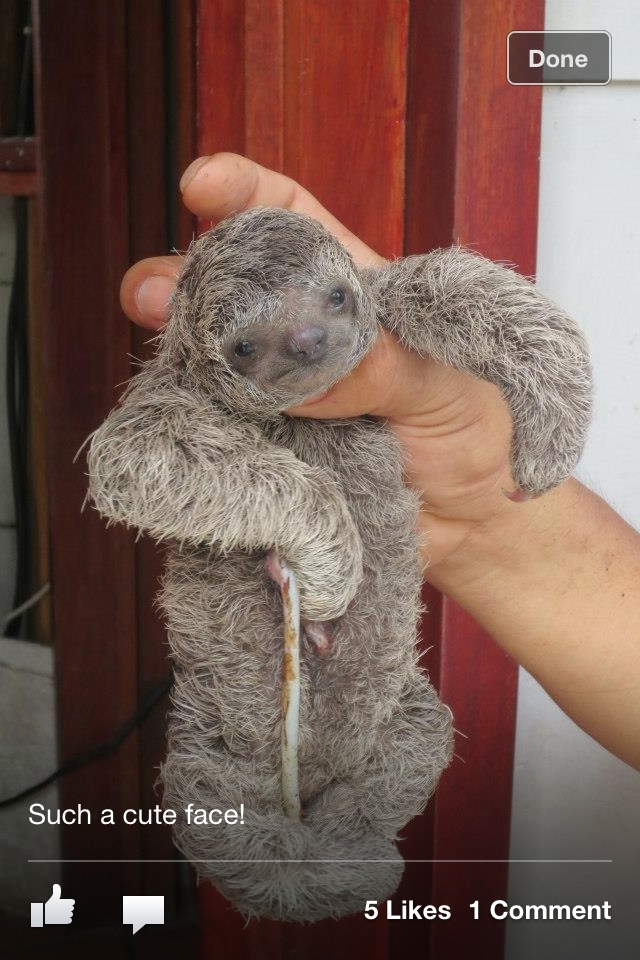 Baby sloth rescued at Tulemar in Costa Rica. He still has his umbilical cord!  Was taken to a sloth rescue.
