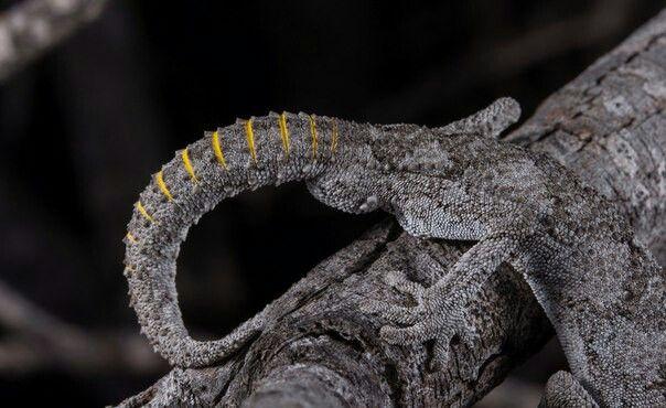 Strophurus strophurus (DUMÉRIL & BIBRON, 1836) сем. Diplodactylidae англ.: Western Spiny-tailed Gecko  Распределение: западная Австралия