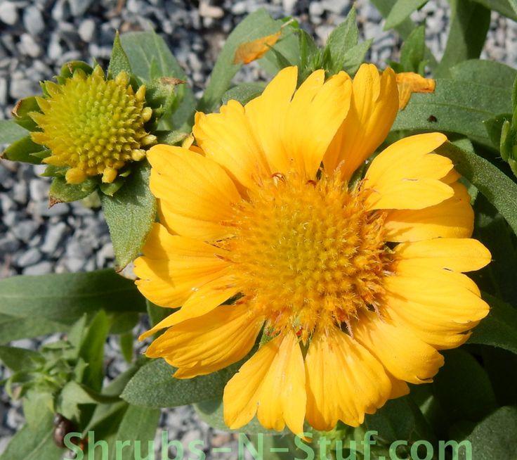 152 best images about Flowers - Gaillardia (Blanket Flower ...