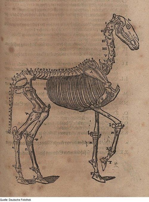 Anatomical illustration of a horse's skeleton. Carlo Ruini, 1603.