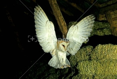 StockphotoPro: Images for Flying > Flying Barn Owl hunting in a barn