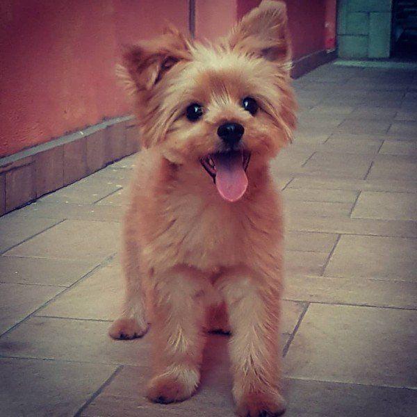 Yorkshire Terrier Pomeranian Mix Pomeranian Mix Yorkie Pomeranian Mix Terrier