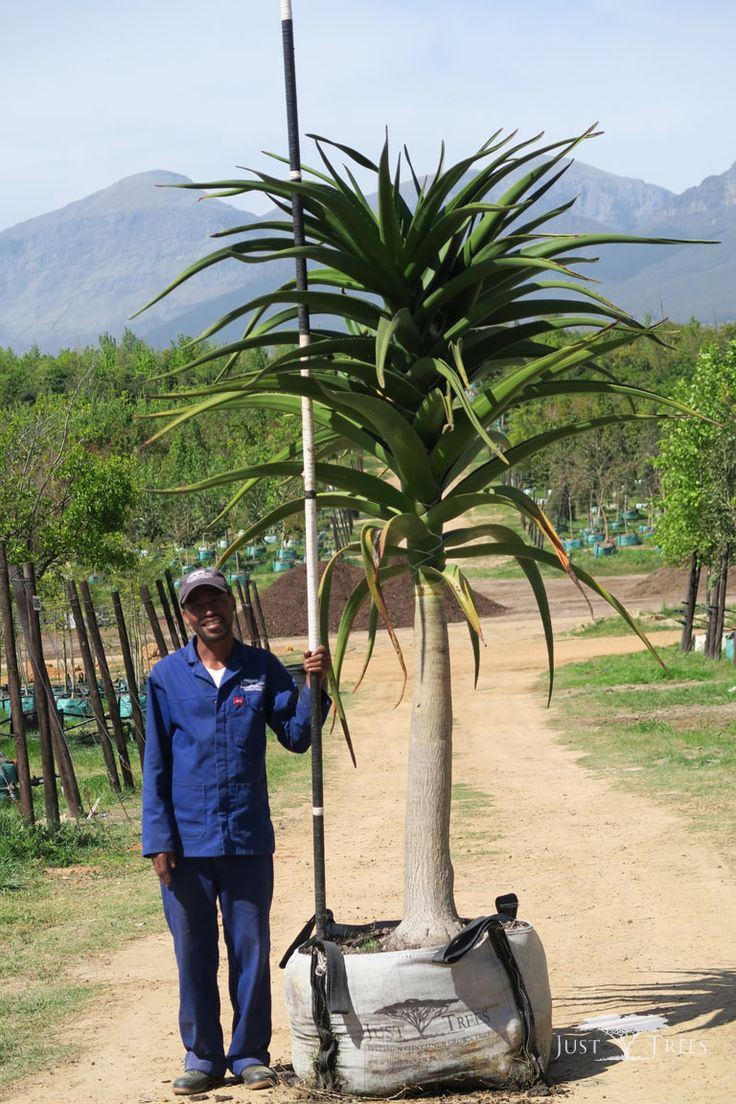 200L Tree Aloe, a striking and sculptural tree that creates an effective focal point in any landscape. It grows well on slopes, for drainage is key and thrives well under cultivation.