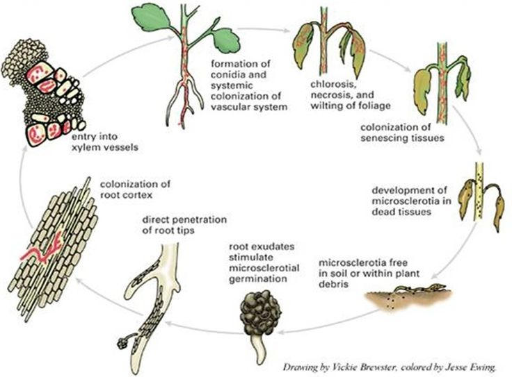 Fusarium Wilt (Life Cycle)