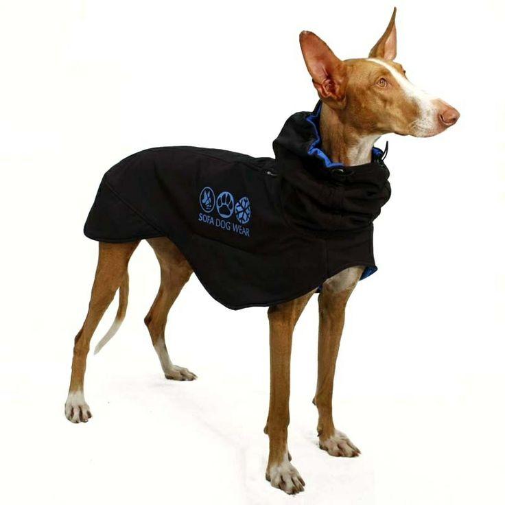 sofa dog wear this company makes the best clothing for sighthounds whippets greyhounds. Black Bedroom Furniture Sets. Home Design Ideas