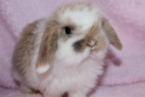 Mini-Lop Bunny Rabbit.