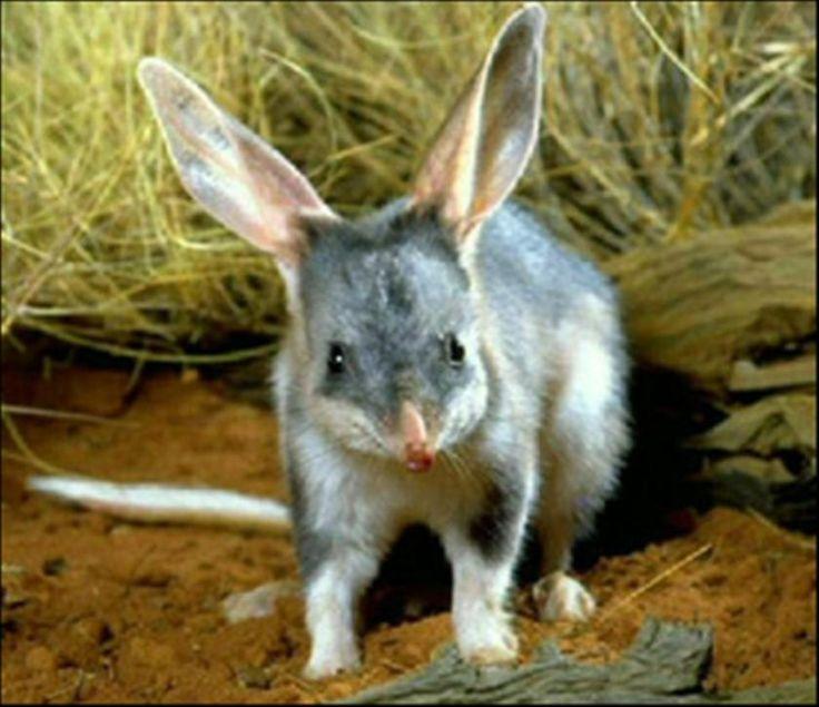 Ten Most Endangered Australian Marsupials