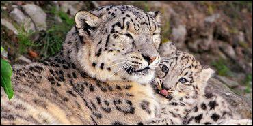 Stop Logging Endangered Snow Leopard Habitat in the Hindu Ku... - Care2 News Network