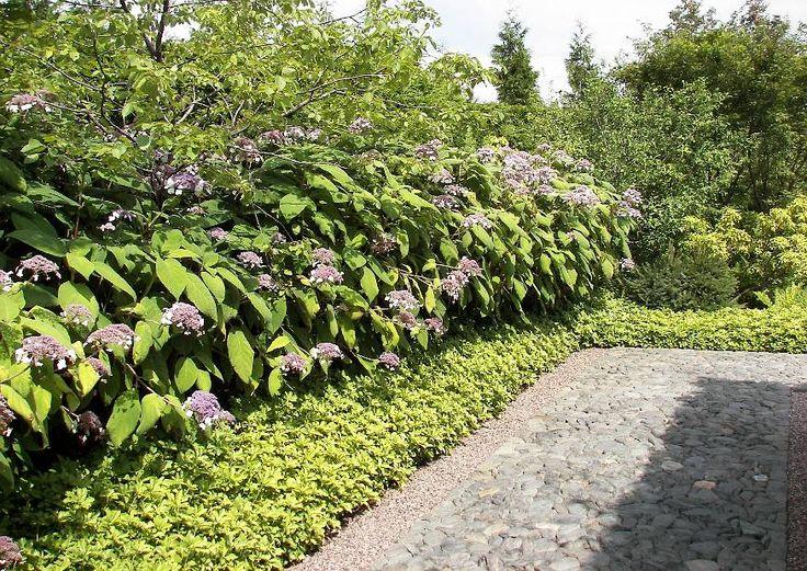 Unique Berlin Marzahn Rundgang Japanischer Garten Hydrangea Aspera Hecke im August