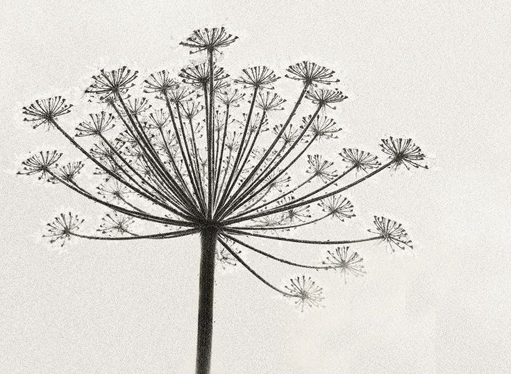 Judi Dicks Cow Parsley Study In Mono