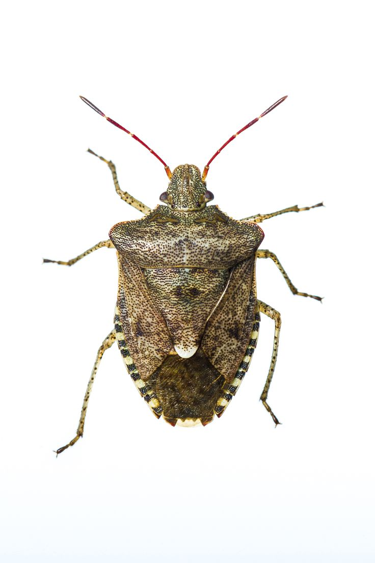 As fall approaches, so does stink bug season. If you have a garden that includes fruit, it might be wise to learn about these pesky insects. They don't really bite, but they can ruin what you grow.
