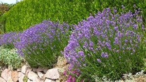 Lavendel kombinieren – Das sind die besten Partner für die mediterrane Pflanze