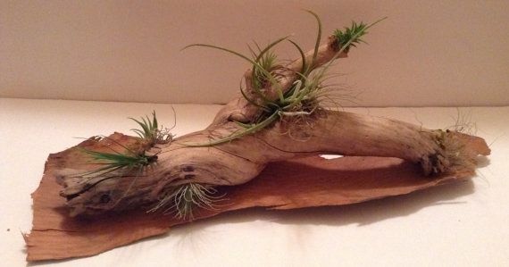 FREE SHIPPING Driftwood/AirPlant centerpiece with by BeLivingArt