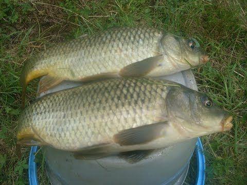 Pêche de la Carpe  Comment et avec quoi pêcher la carpe  En savoir plus sur http://peche-mania.e-monsite.com/pages/conseil-peche-a-la-carpe.html#wMLq88fsGEzuoyP0.99