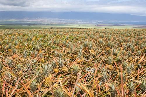 Maui Gold Pineapple Farm + an Umbrella Drink for You