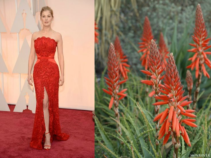 We're seeing double. #Oscars Plant: Always Red™ hybrid Aloe  Celebrity: Rosmund Pike Red Carpet Photo Credit: Kevin Mazur