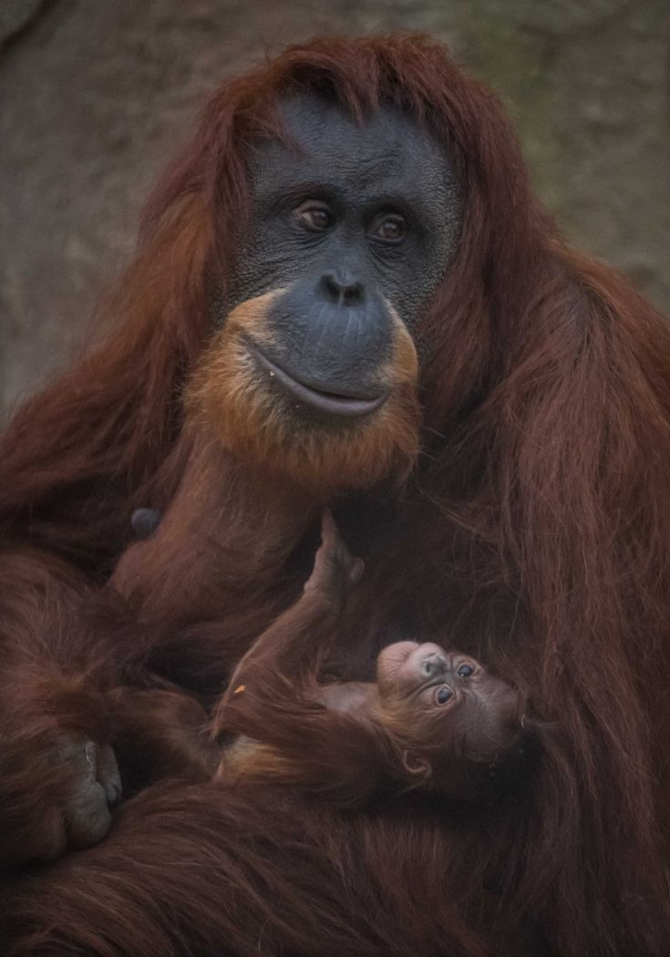 Sumatran orangutan mum Emma with one day old infant at Chester Zoo 3