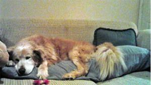 This is Red - 8 yrs. He is neutered, current on vaccinations, potty trained & gets along with other dogs & cats. Red is looking for a forever home & is at Wisconsin Adopt A Golden Retriever.