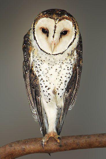 Australian Masked Owl – Kangaroo Island, South Australia