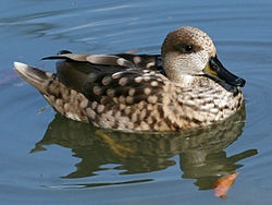 Marbled Teal - Slimbridge