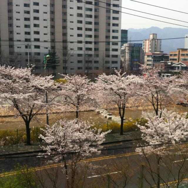 벚꽃 피던 날... 아침^^