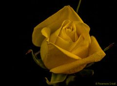 Yellow Rose on Black (12bluros) Tags: flower yellow rose flores floral petals flor fleur floare florus blume bloem blossom blackbackground thegalaxy autofocus black background onblack minimalism