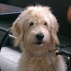 Oliver is an adoptable Standard Poodle Dog in Catharpin, VA. SIMON NEEDS A FOSTER HOME! Oliver is a Goldendoodle (Golden Retriever/Poodle mix). Born last March, Oliver is being rehomed because he is t...