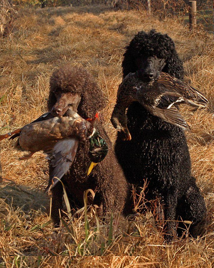 Poodles hunt